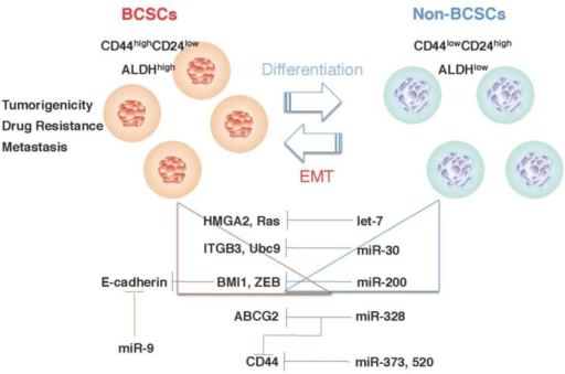 miRNA regulates BCSC phenotypes. Let-7 [61], miR-30 [102], and miR-200 [62] may regulate BCSC phenotypes by modulating the expression of their target genes. The expression of let-7, miR-30, and miR-200 is remarkably reduced in BCSCs, progressively increased with the differentiation of BCSCs, and inversely correlated with the expression of their target genes. miR-9 [101], miR-328 [67], miR-373 and miR-520c [103] also regulate BCSC phenotypes.