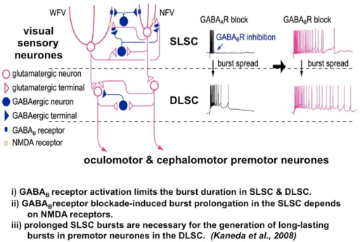 The microcircuit of the superior colliculus. Reduced GA | Open-i