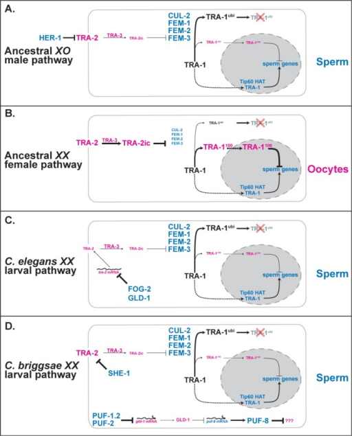Modifications to the sex-determination pathway allow XX larvae to make spermProteins promoting spermatogenesis are blue, and those promoting oogenesis are pink. Positive interactions are shown as solid lines with arrowheads, negative ones as lines with bars, and nuclear import by dashed lines. Line thickness and font size represent the strength of each interaction. The TRA-2 receptor can be cleaved by the calpain protease TRA-3 to form the intracellular form TRA-2ic [111,112]. The target of the Caenorhabditis briggsae puf-1.2, puf-2, gld-1 and puf-8 pathway is not yet known, but it is likely that PUF-8 represses a gene needed for oogenesis [49,52]. Likewise, the secondary role that the three fem genes play downstream of tra-1 in C. elegans [56] and possibly in C. briggsae [113] is not shown because their targets remain unclear. Finally, additional genetic interactions are needed for adult hermaphrodites to switch back to oogenesis, which are reviewed elsewhere [20]. For other details, see the text.