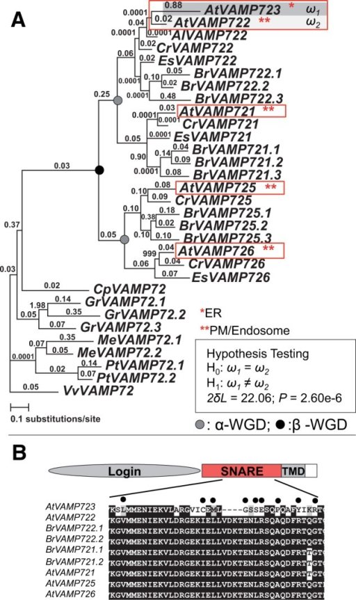 Neolocalization, asymmetric sequence evolution, and gene expression divergence in a pair of VAMP proteins. (A) PAML analysis of VAMP genes. Numbers above the branches indicate the dN/dS ratios. dN analysis is shown in supplementary figure S5, Supplementary Material online. Subcellular localization for the proteins in A. thaliana is highlighted in red. VAMP722 is relocalized from PM/endosome to ER. Species include: At, A. thaliana; Al, Arabidopsis lyrata; Cr, Capsella rubella; Es, Eutrema salsugineum; Br, Brassica rapa; Cp, C. papaya; Gr, G. raimondii; Tc, T. cacao; Pt, P. trichocarpa; Me, M. esculenta; and Vv, V. vinifera. See supplementary figure S5, Supplementary Material online, for locus numbers of each gene. (B) Amino acid alignment showing the position of positively selected sites in the SNARE domain of VAMP723 inferred using the empirical Bayes approach.