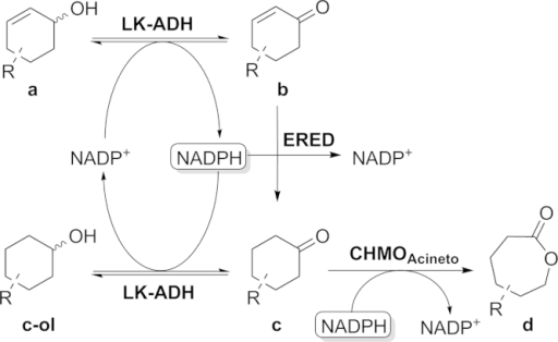 Cascade and possible back reaction catalyzed by the ADH.