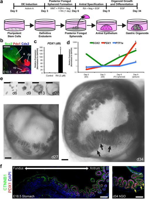 Specification And Growth Of Human Antral Gastric Organoidsa Schematic Representation The In Vitro Culture
