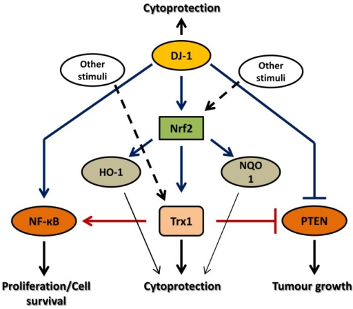 Consequences of targeting each antioxidant, Trx1 and DJ-1, alone or in combination in cancerBoth Trx1 and DJ-1 exert cytoprotection by independent mechanisms as well as by acting on common targets such as, NF-κB and PTEN. Targeting DJ-1 alone may not be sufficient to induce cell death since Nrf2 can also be activated by other stress stimuli leading to Trx1 upregulation. Moreover, Trx1 also activates NF-κB and inhibits the tumour suppressor activity of PTEN leading to cell survival and tumour growth. Thus even after inhibition of DJ-1, all other cytoprotective machineries are functional and may promote tumour growth. Similarly, targeting Trx1 alone may not induce cancer cell death since DJ-1 may activate other Nrf2-targeted cytoprotective genes, or activates NF-κB, or inhibits tumour suppressor activity of PTEN resulting in cell survival and tumour growth. On the other hand, targeting Trx1 and DJ-1 together may completely shut down all the cytoprotective machineries regulated by these antioxidants and leads to cancer cell apoptosis. Hence, targeting two or more antioxidants in conjunction may prove an effective therapy to treat cancer.