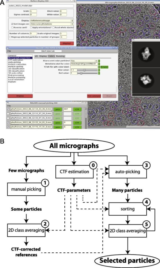 Improved GUI and workflow. (A) Screenshot of the new GUI in RELION-1.3. (B) Proposed workflow for semi-automated particle selection in RELION-1.3. After CTFs have been estimated for all micrographs, the particle selection procedure consists of five steps (numbered 1–5), as explained in more detail in Section 4.