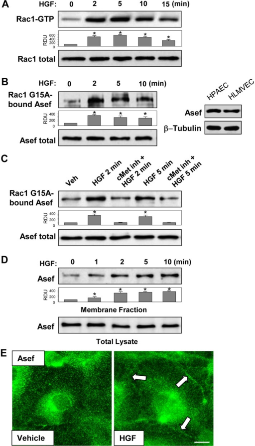 HGF induces activation of Asef and Rac1. (A–D) HPAECs were stimulated with HGF (50 ng/ml) for the indicated periods of time. (A) Rac1 activation was determined by Rac-GTP pull-down assay. Content of activated Rac1 was normalized to the total Rac1 content in EC lysates. *p < 0.05 vs. vehicle. (B) Asef activation was determined by pull-down assay with immobilized Rac1G15A and evaluated by increased Asef association with Rac1G15A. Content of activated Asef was normalized to the total Asef content in EC lysates. *p < 0.05 vs. vehicle. (C) HPAECs were preincubated with vehicle or c-Met inhibitor (carboxamide 50 nM, 30 min), followed by stimulation with HGF (2 and 5 min). Asef activation was determined by pull-down assay with immobilized Rac1G15A and normalized to the total Asef. *p < 0.05 vs. cMet inh + HGF. (D) HPAECs were stimulated with HGF, followed by isolation of cytosolic and membrane fractions. Time-dependent, HGF-induced accumulation of Asef in membrane fraction was detected with specific antibodies. Asef content in corresponding total cell lysates was used as a normalization control. *p <0.05 vs. vehicle. (E) Endothelial cells grown on glass coverslips were stimulated with HGF (50 ng/ml, 30 min). Intracellular redistribution of endogenous Asef was examined by immunofluorescence staining with Asef antibody. Representative results of three to five independent experiments. Bar, 5 μm.
