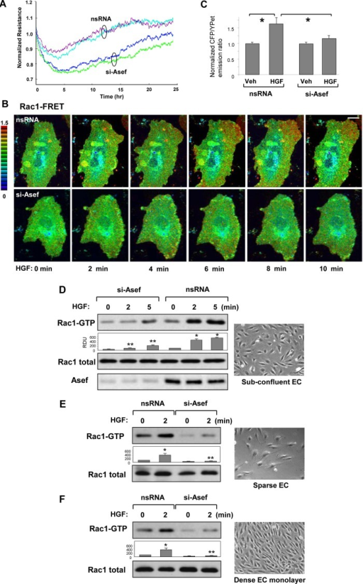 Asef knockdown attenuates HGF-induced Rac1 activation. (A) Endothelial cells were transfected with control or 100 nM Asef-specific siRNA, and after 24 h, changes in TER were monitored over time. (B) FRET analysis of HGF-induced Rac1 activation. HPAECs were transfected with nonspecific or Asef-specific siRNA duplexes for 24 h, followed by transfection with CFP/YPet-Rac1 biosensor for an additional 24 h. FRET analysis of time-dependent Rac activation was performed in HGF-stimulated control and Asef-knockdown cells. Images represent a ratio of activated Rac1 to the total Rac1 content. Areas of Rac1 activation appear in red. Bar, 5 μm. (C) Quantitative analysis of HGF-induced Rac1 activation at the cell periphery. Bar graphs represent normalized CFP/YPet emission ratio. Rac1 activation in cells before HGF stimulation was compared with Rac1 activation after 6 min of HGF addition. Data are expressed as mean ± SD of four independent experiments, five to seven cells for each experiment; *p < 0.05. (D–F) Subconfluent (D), sparse (E), or dense (F) HPAECs were transfected with Asef-specific siRNA or nonspecific RNA and stimulated with HGF (50 ng/ml). Left, Rac1 activation determined by Rac-GTP pull-down assay. The content of activated Rac1 was normalized to the total Rac1 content in EC lysates. *p <0.01 vs. nonstimulated cells treated with nonspecific (ns) RNA; **p <0.01 vs. nsRNA. Right, representative phase-contrast images of HPAECs used for experiments.
