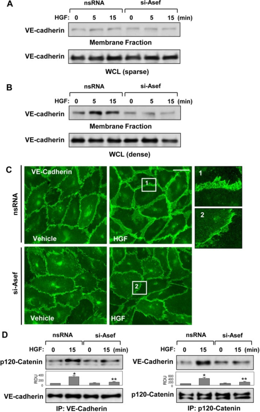 Asef knockdown attenuates HGF-induced enhancement of adherens junctions. HPAECs were transfected with Asef-specific siRNA or nonspecific RNA and stimulated with HGF (50 ng/ml). Sparse (A) or dense (B) HPAEC cultures were stimulated with HGF, followed by isolation of membrane fraction. HGF-induced VE-cadherin accumulation in the membrane fraction was detected with specific antibodies. VE-cadherin content in corresponding total cell lysates was used as a normalization control. (C) Visualization of cell–cell contacts was performed by immunofluorescence staining of formaldehyde-fixed HPAECs with VE-cadherin antibody. Bar, 10 μm. Magnified images (insets) show details of adherens junction structures. (D) HGF-treated HPAECs were used for reciprocal coimmunoprecipitation assays with VE-cadherin (top) and p120-catenin (bottom) antibodies, followed by Western blot detection of p120-catenin and VE-cadherin; *p <0.01 vs. nonstimulated cells treated with nonspecific RNA; **p <0.05 vs. nonspecific RNA. Results are representative of three independent experiments.