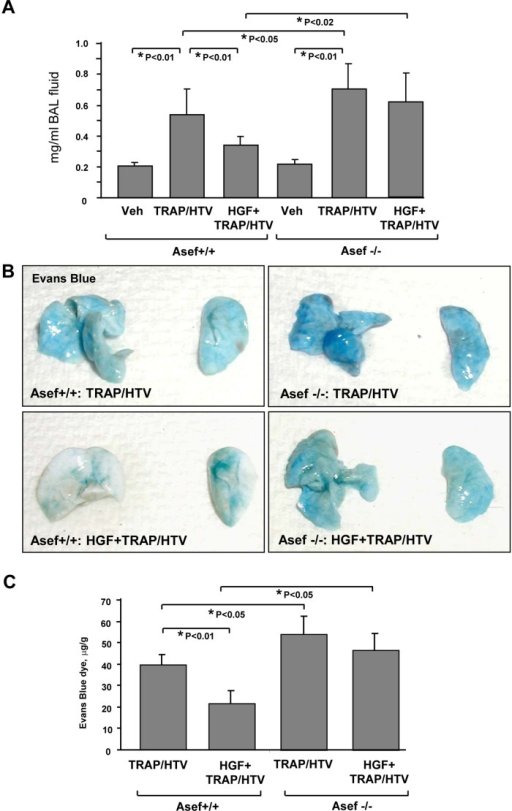 Role of Asef in HGF-induced lung barrier protection in the model of TRAP6/HTV-induced lung injury. Asef+/+ and Asef−/− mice were treated with vehicle or HGF (500 μg/kg, intravenous), followed by TRAP6 injection (1.5 × 10−5 mol/kg, intratracheal) and mechanical ventilation at high tidal volume (HTV, 30 ml/kg, 4 h). (A) Measurements of protein concentration in BAL fluid; n = 6. (B) Vascular leak was analyzed by Evans blue–labeled albumin extravasation into the lung tissue. (C) The quantitative analysis of Evans blue–labeled albumin extravasation was performed by spectrophotometric evaluation of Evans blue extracted from the lung tissue samples; n = 6.