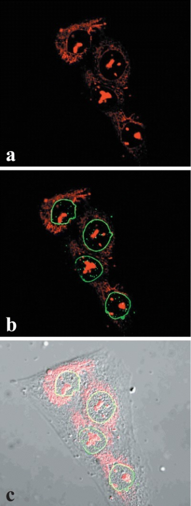 Nuclear OTR does not interact with nuclear envelope. U2OS cells grown on coverslips were fixed/permeabilized and double staining was performed using anti-human lamin B (green, B and C) and with anti-OTR 1F3 (red, A, B, and C) Mab as described in the 'Methods'. The image was obtained by confocal microscopy of a nucleus midsection and shows the lack of association of OTR with the internal nuclear envelope.