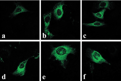 Constitutive and time-dependent translocation of OTR-GFP into the nuclei of U2OS cells. Image A represents midsection confocal microscopy of the untreated cells, 2 days post-transfection with pEGFP-N3-OTR (time 0). Cells in images B through F were all treated with OT (10−7 M) for 6, 24, 48, 72 and 96 hrs, respectively.