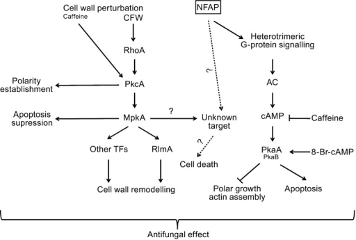 Tentative model for the antifungal mechanism ofNeosartorya fischeriNFAPinAspergillus nidulansmodified from Binder et al.(2010; 2011) forPenicillium chrysogenumPAF andAspergillus giganteusA3274 AFPNN5353, respectively. 8-Br-cAMP: 8-bromoadenosine 3',5'-cyclic monophosphate, AC: adenylate cyclase, cAMP: cyclic adenosine monophosphate, CFW: calcofluor white, Mpk: mitogen activated protein kinase, Pka: protein kinase A, Pkc: protein kinase C, RhoA: small GTP binding protein, RlmA: transcription factor, TFs: transcription factors
