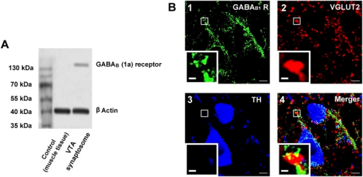The presence of GABAB receptors in the presynaptic glutamatergic terminals of the ventral tegmental area (VTA) in rats.(A) GABAB receptor expression in the synaptosomes from the VTA. A representative Western blot shows GABAB receptor expression in the synaptosomes from the VTA. (B) GABAB receptor expression in the VTA shown using the triple-immunofluorescence method. Panel 1: GABAB receptor immunolabeling (green-colored) in the VTA. Panel 2: VGLUT2-labeled axon terminals (red-colored) in the VTA. Panel 3: DA neuron labeled with TH (blue-colored) in the VTA. Panel 4: Merged image (yellow-colored) of GABAB receptors and VGLUT2 in the VTA. The insets marked with small white rectangles in panels 1–4 are magnified views. Scale bars: 5 µm (in panels 1–4); 1 µm (in the insets in panels 1–4).DOI:http://dx.doi.org/10.7554/eLife.09275.009