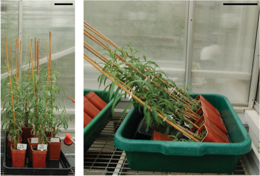K8-428 willow plants. (A) Control upright plants. (B) Inclined plants for TW induction after 1 week of treatment. Bars: 10cm.