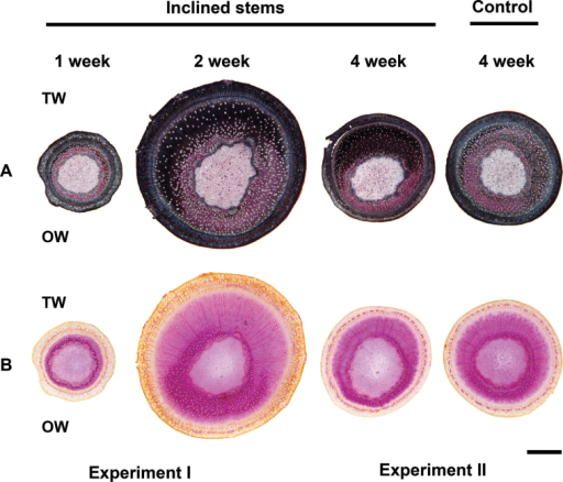 Histological staining. The stems inclined for 1 and 2 weeks were from Experiment I (cuttings grown for 4 weeks before induction) and stems inclined for 4 weeks were from Experiment II (cuttings grown for 2 weeks before induction). Because of the difference in growth rates between the experiments, the 2-week inclined stems are larger in diameter. (A) Chlorazol black and safranin stain of stem cross-sections. Black staining indicates the presence of G-fibres on the TW side. (B) Phloroglucinol-HCl stain. G-fibres on the TW side show reduced pink staining. Bar: 1000 µm.