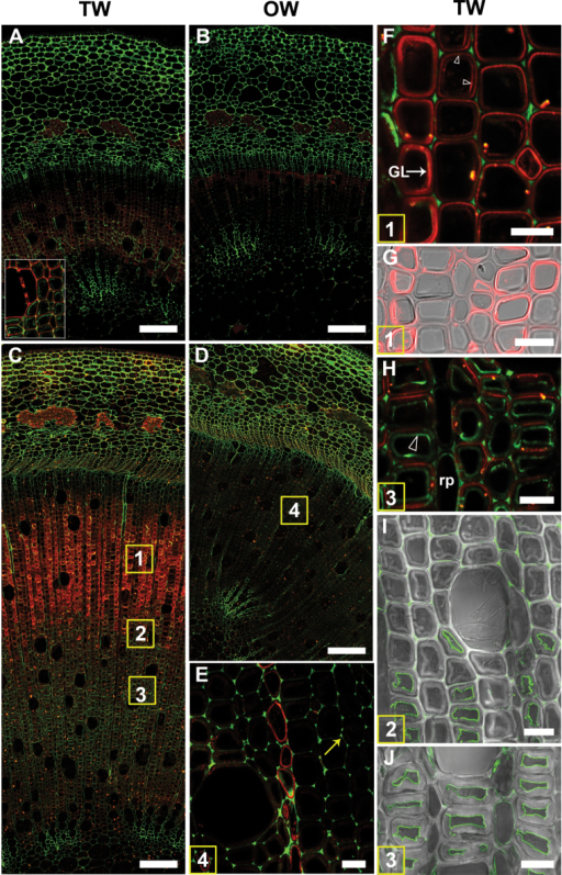 Localization of (1–4)-β-D-galactan (LM5 antibody in red) and homogalacturonan (CCRC-M38 antibody in green) in transverse sections of stems after 1 or 4 weeks of TW induction. Numbers in the squares in (C) and (D) indicate similar areas shown in more detail in subsequent images. (A) to (H) are images of 1 µm resin sections and (I) and (J) are images of 100 µm unembedded sections. (A) Stem after 1 week of tipping showing the distribution of (1–4)-β-D-galactan (red) in TW fibres and of homogalacturonan (green) in the more mature inner side of the stem (detail in the inset). (B) OW side of the same section showing virtually no fluorescence in xylary fibres with the LM5 and CCRC-M38 antibodies. (C) TW side of a 4-week tipped stem showing strong labelling of G-fibres with the LM5 antibody in the outer developing and maturing part of the stem. (D) OW side of the same stem in (C). Fibre cell walls are not labelled or only weakly labelled with the LM5 and CCRC-M38 antibodies. (E) Detail of area 4 in (D). There is no labelling of OW fibre cell walls, indicating the absence of (1–4)-β-D-galactan. Some labelling is seen in ray parenchyma. Homogalacturonan is detected in cell corners (arrow). (F) and (G) Detail of area 1 in (C). LM5 antibody shows differential distribution of (1–4)-β-D-galactan from area 1 in files of G-fibres. The G-layer is labelled in some fibres, whereas in others the interface between the G-layer and SCW is labelled (arrowheads). (H) Detail of area 2 in (C). LM5 is bound mainly to the SCW and CCRC-M38 labels mainly the inner lamella of the G-layer (arrowhead). (I) and (J) Similar areas to 2 and 3 in (C) of unembedded sections showing CCRC-M38 mainly bound to the inner lamella of the G-layer. GL, G-layer; v, xylem vessel; rp, ray parenchyma. Bars: A, B, C, D = 100 µm; E, F, G, H, I, J = 10 µm.