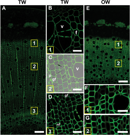 Xylan (LM10 antibody) distribution in TW and OW after 4 weeks of tipping. (A) TW side. Numbers indicate the areas shown in detail in B, C and D. (B) Detail of area 1. Differentiating xylem. (C) Area 2. Maturing xylem. The G-layer is not labelled (arrow). Antibody labeling is only present in secondary cell walls of G-fibres, vessels and ray parenchyma. (D) Area 3. Mature xylem. Normal fibres have thicker secondary cell walls than G-fibres. (E) OW of same section shows strong labelling of all fibre SCWs. (F) and (G) show detail of areas 1 and 2 in (E). All fibre SCWs are strongly labelled. (v) xylem vessel, (f) fibre, (rp) ray parenchyma. Bars: A, E = 100 µm; B, C, D, F, G = 20 µm.
