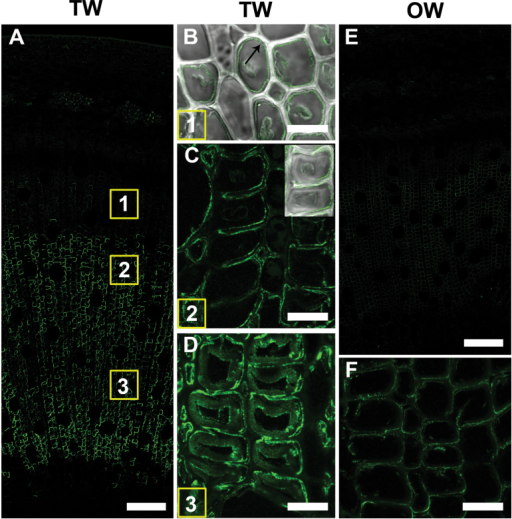 Mannan (LM21 antibody) distribution in TW and OW after 4 weeks of inclined growth. (A) 1 µm resin section of TW side showing strong binding of LM21 in the maturing and mature G-fibres. The numbers in the squares indicate similar areas to those shown in detail in B–D. (B) 100 µm unembedded section of developing G-fibres of area 1 showing a thin layer of labelling in the SCW/G-layer (arrow). (C) 100 µm unembedded section of more mature fibres showing labelling at the SCW/G-layer interface. (D) 100 µm unembedded section of very thick-walled mature G-fibres showing binding of the LM21 antibody in the SCW and also some more diffuse labelling in the G-layer. (E) 1 µm resin section of OW side showing very weak binding to fibre cell walls. (F) Detail of fibres in (E) showing light labelling of cell walls, possibly S1 layer of the SCW. Bars: A, E, 100 µm; B, C, D, F, 10 µm.