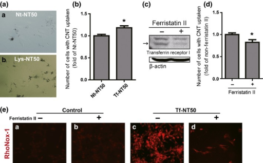 Transferrin receptor 1 plays a role in the uptake of NT50 by rat peritoneal mesothelial cells. Difference in the uptake of NT50 by rat peritoneal mesothelial cells with ([b] Lys‐NT50) or without ([a] Nt‐NT50) protein coating (a). The number of cells which internalized or attached Nt‐NT50 or Tf‐NT50 was measured by flow cytometer (b). Ferristatin II reduced the levels of transferrin receptor 1 (arrow) (c), which induced decreased uptake of Tf‐NT50 (d). Whereas ferristatin II treatment alone did not change the level of cytoplasmic catalytic Fe(II), ferristatin II treatment significantly decreased the amounts of catalytic Fe(II) upon exposure to Tf‐NT50 (N = 3, means ± SEM). Please refer to the text and Figure 4 for details. CNT, carbon nanotubes.