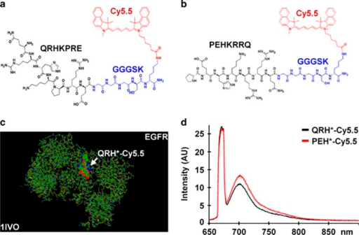 Peptide specific for EGFR. (a) Chemical structure of QRHKPRE peptide (black) with GGGSK linker (blue) and Cy5.5 fluorophore (red). (b) Scrambled peptide PEHKRRQ (control). (c) QRH*-Cy5.5 was found on the structural model to bind domain 2 of EGFR (1IVO). (d) Fluorescence spectra of Cy5.5-labeled peptides with λex=671 nm shows peak emission near 710 nm. AU, arbitrary unit; EGFR, epidermal growth factor receptor.