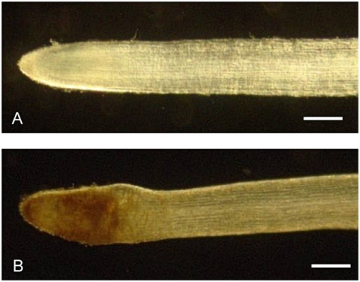Morphology of H. perforatum in vitro roots. Stereomicroscopic view of control (A) and chitosan-treated (B) roots at 72 h. A swelling in the region of distension and differentiation could be observed in chitosan-treated roots. Bars represent 250 μm.