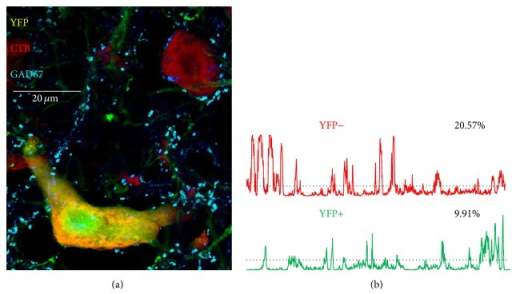 (a) Two motoneurons in a single optical section in lamina IX of the ventral horn of the lumbar spinal cord of a tamoxifen treated SLICK::trkBf/f mouse are shown. Both neurons are marked by the presence of a red fluorescent retrograde tracer, cholera toxin B-Alexa Fluor 546, that had been injected into the gastrocnemius muscles three days prior to tissue harvesting, identifying these cells as motoneurons. One of the cells also expresses yellow fluorescent protein (YFP) and was assumed to be  for the gene for trkB. Cyan structures are immunoreactive for glutamic acid decarboxylase 67 (GAD67). (b) Profile plots are shown for GAD67 immunoreactivity along the perimeters of these cells. In each plot, the average fluorescence intensity + one standard deviation is shown as a threshold by the horizontal dashed line. Fluorescence intensity values greater than this threshold are assumed to represent contacts between the perimeter of the cell and structures immunoreactive for GAD67. The numbers next to each plot indicate the percent of the perimeter of the cell in such contact.