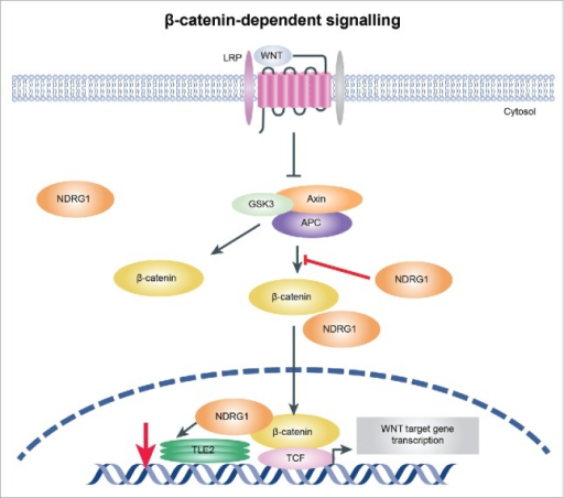 Illustration showing the mechanism by which NDRG1 mediates activation of the Wnt signaling pathway. Overexpression of NDRG1 results in decreased TLE2 expression and increased β-catenin levels, which may then switch to β-catenin/TCF complex assembly and initiation of Wnt signaling pathway activation, promoting EMT in esophageal tumor cells.