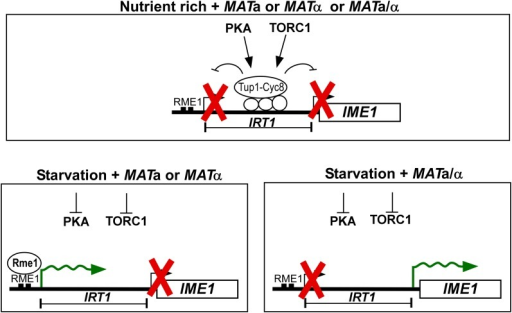 Model of nutrient and mating-type control of IME1. Under nutrient-rich conditions, TORC1/PKA repress IME1 and IRT1 via Tup1–Cyc8 in diploid/haploid cells harbouring either both or single mating types (MATa/α, MATa or MATα). During starvation, cells with a single mating type (MATa or MATα) induce IRT1-mediated repression of IME1, whereas MATa/α diploid cells induce IME1 and enter sporulation