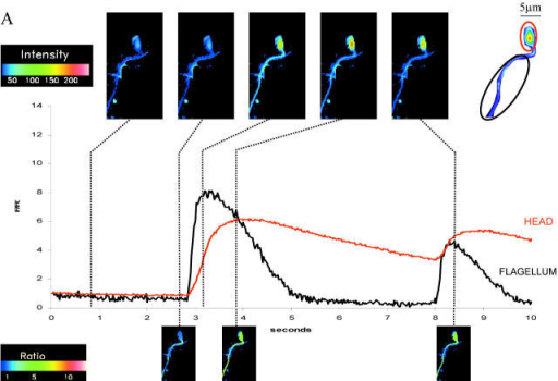 Ratio increases in [Ca2+]i from head and flagellum regions (measured in discrete regions of interest as indicated). Images acquired at 40 frames per second with 25-ms individual frame exposure time. (A) Typical spontaneous fluctuations in [Ca2+]i observed in resting sperm. Images above graphs are intensity images; images below graphs are ratio images against the frame immediately before the spontaneous increase occurred. (B) Typical response of an individual sperm to addition of speract to a final concentration of 125 nM. Images above graphs are intensity images; images below are ratio images against the frame immediately before speract addition. Note the markedly higher intensity of the head compared with the tail and that the fold increases in head and tail are comparable.