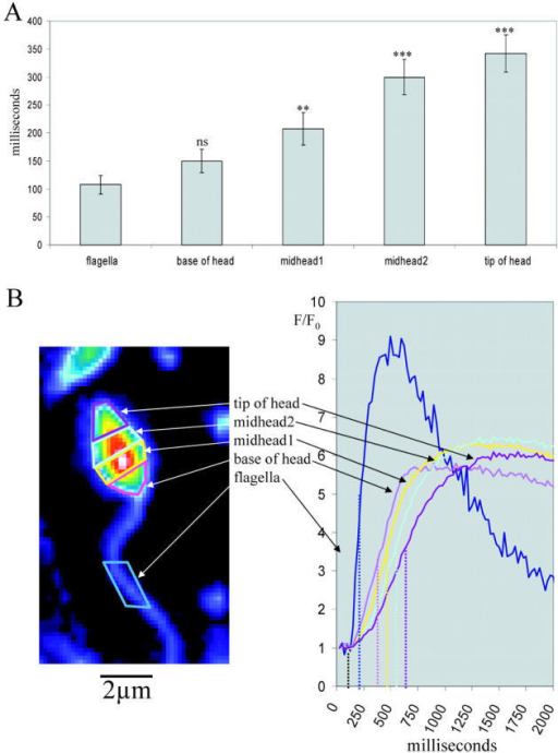 Subregional analysis of [Ca2+]i increases in individual sperm. (A) After addition of 100 nM speract, the time taken for the initial calcium increase to reach half height (relative to the first point of increase in the flagellum) was recorded for subregions of the sperm head and flagellum (B); n = 5, error bars indicate ± SEM. One-tailed t test (comparison to flagellum). ***, P < 0.001; **, P < 0.01; ns, P > 0.05.