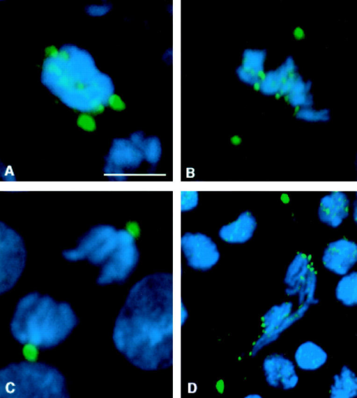 Distribution of 3F3/2 phosphoepitopes in bub1 mutant neuroblasts. DNA is in blue, and 3F3/2 phosphoepitopes are in green. In all panels, the two strongest sites of 3F3/2 staining are the centrosomes. 3F3/2 distribution in prophase (A) and metaphase (B) neuroblasts from bub1 mutants. 3F3/2 epitopes at the centrosomes and kinetochores are strongly recognized, demonstrating that the Bub1 kinase is not a significant source of 3F3/2 phosphorylation activity in vivo. (C) 3F3/2 epitopes are completely dephosphorylated during anaphase in wild-type neuroblasts (see Bousbaa et al. 1997 for a detailed description of 3F3/2 distribution in wild-type Drosophila neuroblasts). (D) 3F3/2 distribution in an anaphase figure from a bub1 mutant neuroblast. 3F3/2 epitopes continue to remain phosphorylated in bub1 anaphases, though at reduced levels relative to those seen during prophase/prometaphase. Thus, total dephosphorylation of 3F3/2 phosphoepitopes cannot be a prerequisite for entry into anaphase. Bar, 5 μm.
