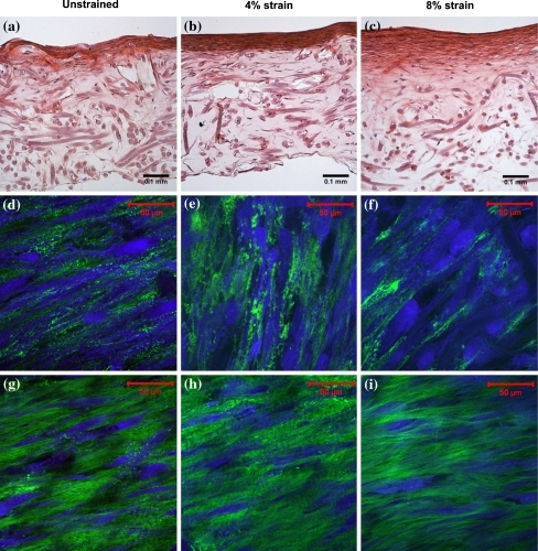 Histology and microstructure of 3-weeks-old engineered cardiovascular constructs. The straining direction is from left to right. (a–c) H&E staining of engineered cardiovascular constructs cultured at 0, 4, and 8% strain, respectively. (d–f) Multiphoton images of cells (blue) and collagen (green) visualized at the surface of the engineered constructs, approximately 3 μm into the tissue. (g–i) Multiphoton images of cells and collagen visualized approximately 25 μm into the engineered tissue constructs