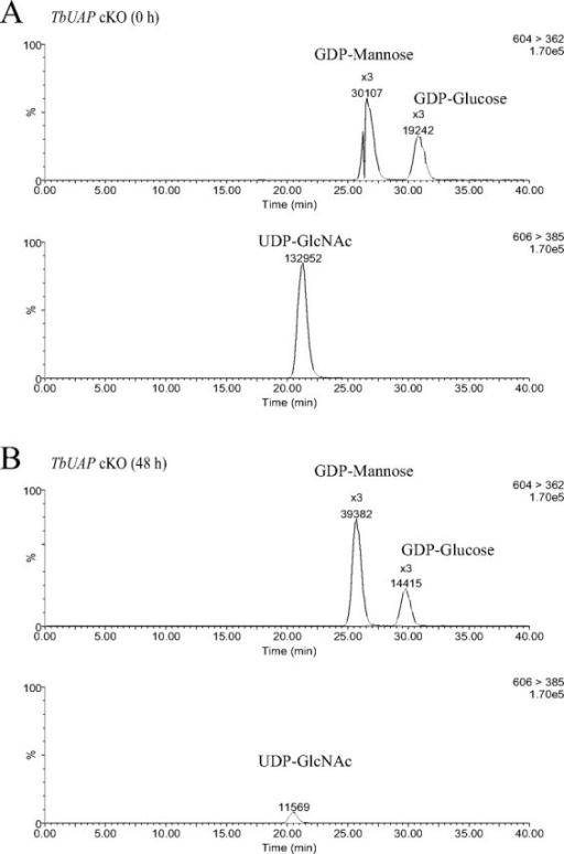 Measurement of sugar nucleotides in the TbUAP conditional  mutant under permissive and nonpermissive conditions. Representative liquid chromatography-tandem mass spectrometry chromatograms of sugar nucleotides extracted from the TbUAP conditional  mutant before (A) and after (B) withdrawal of tetracycline for 48 h. The upper chromatogram in each panel shows the peaks corresponding to GDP-Man and the GDP-Glc internal standard, and the lower chromatogram shows the peak corresponding to UDP-GlcNAc.