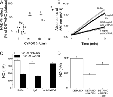 NADPH-dependent NO consumption involves CYPOR(A) 300 μM DETA/NO was added to membranes from different cell types(as labelled) in cell incubation buffer, with DTPA but no Trolox. 1 Buffer alone; 2, T47D wild-typecells (0.05 mg of protein/ml); 3, white blood cells (2 mg of protein/ml); 4, platelets(2 mg of protein/ml); 5, crude brain (0.5 mg protein/ml); 6, partially purified brain(0.42 mg protein/m); 7, glia (1 mg of protein/ml); 8, T47D transfected cells(0.05 mg of protein/ml). Note that the experiment with T47D wild-type and transfected cellswas carried out on two separate occasions, so there are duplicates of the data from these celltypes. The change in NO level on subsequent addition of NADPH was plotted against CYPOR content.CYPOR content significantly correlates with NO consumption (Pearson's r=0.85, whichis significantly different from zero; P=0.002, n=3–6).(B) To assay cytochrome c reduction by CYPOR, absorbance at550 nm was followed with time. After incubation for 2 h on ice with buffer (closedcircles), absorbance increased linearly. The rate was only slightly slower when incubated with1 mg/ml IgG (open triangles), but was greatly reduced by incubation with 0.33 or1 mg/ml of a CYPOR antibody (filled triangles and open circles, respectively).(C) NO concentration reached after 100 μM DETA/NO addition to brainmembranes at 1 mg of protein/ml, following incubation for 2 h on ice with controlbuffer, 0.33 mg/ml of γ-IgG or 0.33 mg/ml of α-CYPOR, before (open bars)and after (solid bars) addition of 100 μM NADPH. The change in NO on NADPH additionwas significantly less following incubation with α-CYPOR (one-way ANOVA with Tukeypost-hoc tests; P<0.001 compared with buffer and IgG;n=4), but was not affected by incubation with γ-IgG(P>0.05 compared with buffer). (D) NO concentration reachedafter sequential additions of 100 μM DETA/NO, 100 μM NADPH and50 μM DPI to synaptosome membranes (1 mg protein/ml). DPI significantlyinhibits NADPH-dependent NO consumption (one-way ANOVA with Tukey post-hoc tests:NADPH compared with DPI, P<0.01; DPI compared with DETA/NO,P>0.05; n=6). DPI and α-CYPOR inhibit the NADPHeffect to the same extent (Student's t test: 100 μM DETA/NO plus100 μM NADPH plus 50 μM DPI compared with 100 μM DETA/NOplus 100 μM NADPH plus 0.33 mg/ml of α-CYPOR; P=0.41,n=4–6).
