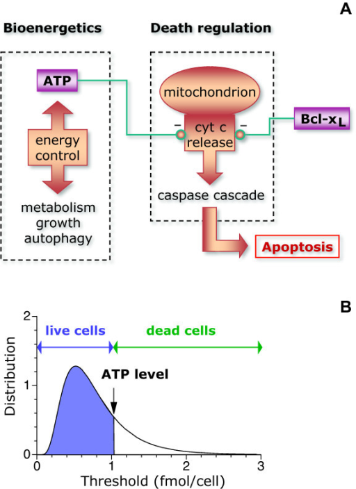 Noise-threshold model of apoptosis. (A) The cartoon illustrates the cellular processes that serve as a basis for the model. The metabolic state of the cell determines the intracellular ATP level. The ATP level controls negatively the release of cytochrome c (cyt c) from mitochondria into the cytosol, which promotes apoptosis. Antiapoptotic proteins such as Bcl-xL prevent the release of cytochrome c and can compensate for low ATP levels. (B) The model assumes that each individual cell has a given threshold for the ATP level that separates death from survival. Cells that survive, emphasized in blue, are those with thresholds below the ATP level (set here at ~1 fmol/cell for illustrative purposes).