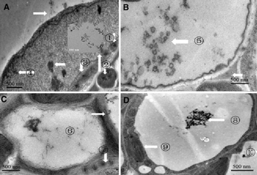 TEM images of SWCNTs entered into Arabidopsis mesophyll cells. a Some of the SWCNTs attached to the surface of cell wall, some crossed the membrane and located in the inner of cell membrane, mitochondria ①, nucleus ②, the inset is magnified image of SWCNTs inside the nucleus; B: SWCNTs located inside the vacuole; C: SWCNTs located in the vacuole ⑥ and chloroplast ⑦; D: aggregated SWCNTs located in the vacuole, ⑧⑨ ⑩ showed SWCNTs in different position.