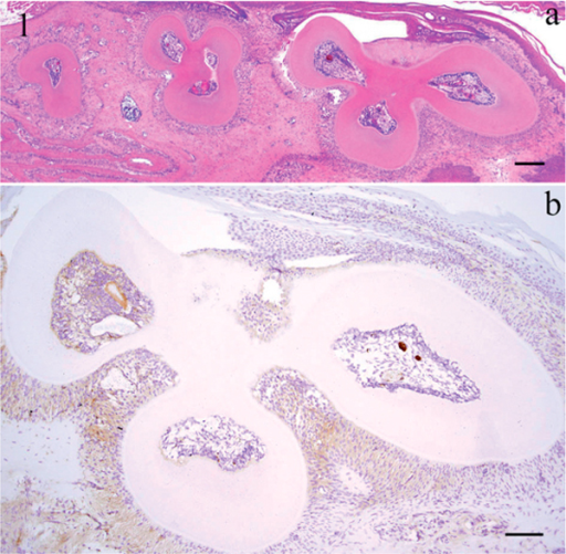 Histopathological view of the horizontal section of a sample from the experimental group (a: Bar 200 μm), immunohistochemical staining profile of HSP27 in the 1st molar, experimental group (b: 3 h-3 h, Bar 100 μm).