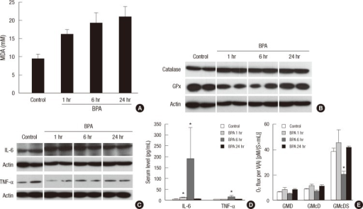 Changes in the levels of oxidative stress and inflammatory cytokines at 1, 6, and 24 hr after a single injection of BPA (1.2 mg/kg bw/day). (A) MDA concentrations in the liver. (B) Catalase and GPx3 in the liver. (C) IL-6 and TNF-α levels in the liver. (D) Serum IL-6 and TNF-α levels. (E) Oxygen consumption rate in hepatic mitochondria. GMD, glutamate + malate + ADP; GMcD, GMD + cytochrome c; GMcDS, GMcD + succinate (*P < 0.05 compared to control).
