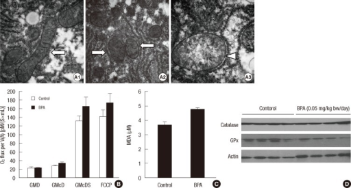 Structure and function of hepatic mitochondria in the mice treated with BPA (0.05 mg/kg bw/day) for 5 days. (A) Morphology of hepatic mitochondria by transmission electron microscopy (500,000 × magnification). Control (A1) and BPA-treated mice (A2, A3). Normal mitochondria (arrows) and swollen and cristae-disrupted mitochondria (arrowhead). (B) Oxygen consumption rate of hepatic mitochondria. GMD, glutamate + malate + ADP; GMcD, GMD + cytochrome c; GMcDS, GMcD + succinate; FCCP, uncoupler. (C) MDA concentrations in the liver. (D) Catalase and GPx3 in the liver.