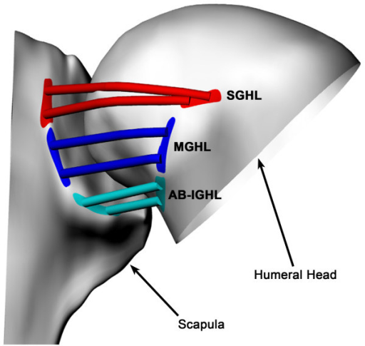 "Glenohumeral ligaments on shoulder model"" A typica 