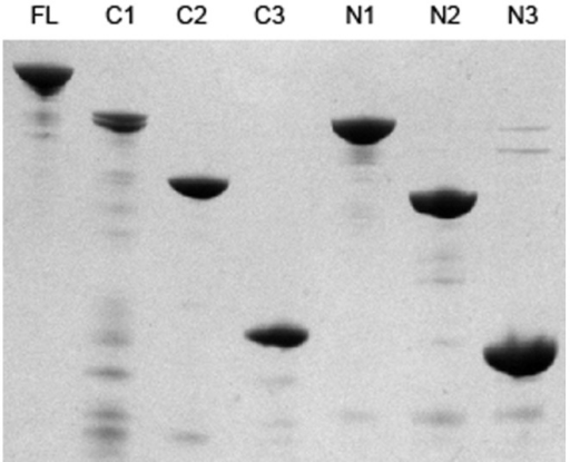 SDS-PAGE analysis of purified truncated derivatives of PhtD.Truncated derivatives of PhtD were analysed by SDS-PAGE using a 12% acrylamide gel and subsequently stained using Coomassie R250. 1 µg of each protein was used. The identity of the protein is indicated above each lane (FL; full length).