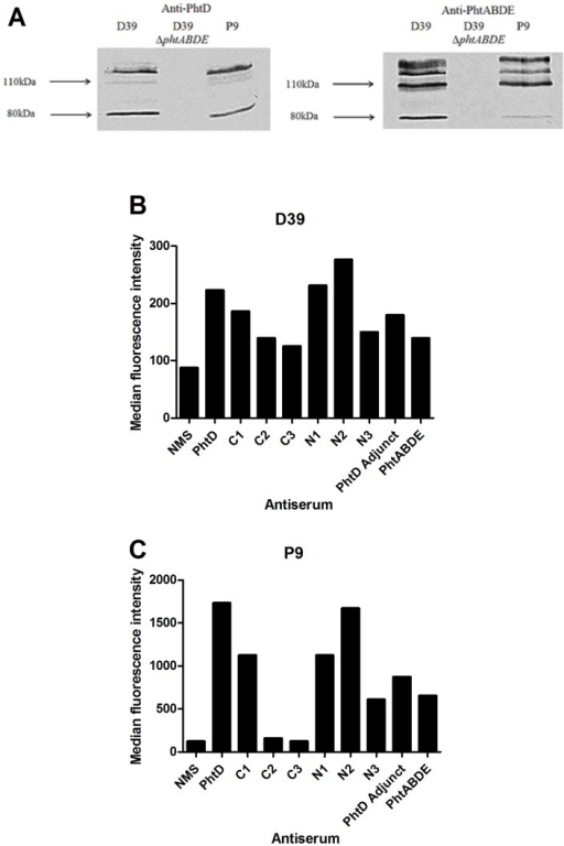 Presence and exposure of Pht proteins in strain P9 compared to D39.A: Western blotting using pneumococcal cell lysates with anti-PhtD (left) or anti-PhtABDE (right) polyclonal sera. Mobilities of molecular size markers are indicated. B and C: detection of PhtD on the surface of D39 (B) and P9 (C) by flow cytometry using antisera generated against PhtD truncated derivatives. NMS, normal mouse serum (negative control). Median fluorescence intensities for 10,000 events are displayed.