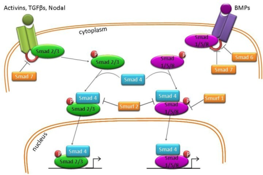 Diagrammatic representation of Activin, Nodal, TGFβ and BMP signaling pathways.