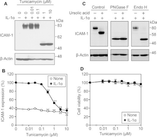 Ursolic acid affects N-linked oligosaccharide processing of ICAM-1. (A) A549 cells were treated with various concentrations of tunicamycin for 1 h and then incubated with (+) or without (−) IL-1α (0.25 ng/ml) for 6 h. Cell lysates were analyzed by Western blotting. Data are representative of three independent experiments. (B) A549 cells were preincubated with various concentrations of tunicamycin for 1 h and then incubated with (filled circles) or without (open circles) IL-1α (0.25 ng/ml) for 6 h. Cell-surface ICAM-1 expression was measured by the Cell-ELISA assay. ICAM-1 expression (%) is represented by the means ± S.D. of triplicate cultures. ∗∗P < 0.01, compared with control. Data are representative of four independent experiments. (C) A549 cells were preincubated with various concentrations of tunicamycin for 1 h and then incubated with (filled circles) or without (open circles) IL-1α (0.25 ng/ml) for 6 h. Cell viability (%) was measured by the MTT assay. Cell viability (%) is represented by the means ± S.D. of triplicate cultures. Data are representative of three independent experiments. (D) A549 cells were preincubated with (+) or without (−) ursolic acid (50 μM) for 1 h and then incubated with (+) IL-1α (0.25 ng/ml) for 6 h. Cell lysates were treated or not treated with PNGase F or Endo H, and analyzed by Western blotting. Data are representative of three independent experiments.
