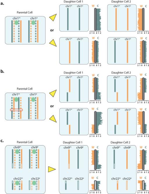 Strand seq involves sequencing of template strands only open i strand seq involves sequencing of template strands only newly formed dna strands containing brdu maxwellsz