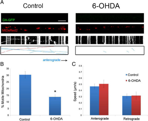 6-OHDA rapidly decreases mitochondrial movement in non-DA axons. A) Axonal movement of mitochondria in control and 6-OHDA treated axons. Non-GFP positive axons (non-DA; Top panels) that were labeled with MitoDsRed2 (Middle panels) were selected for imaging 30 minutes after treatment with 6-OHDA. Resulting kymographs are shown below. For additional clarity tracks of moving particles are depicted in the bottom panels: blue lines denote anterograde movement and red lines indicate retrograde trafficking. Scale bar indicates 10 μm. Quantification of B) moving mitochondria in both anterograde and retrograde directions (n = 3–4 devices per group from with 3–5 axons analyzed per device) and C) mitochondrial speeds of motile mitochondria. The latter were calculated as described [10] (n = 90–120 mitochondria per group). In B and C, data are represented as mean ± SEM, *: indicate p < 0.05 versus control.
