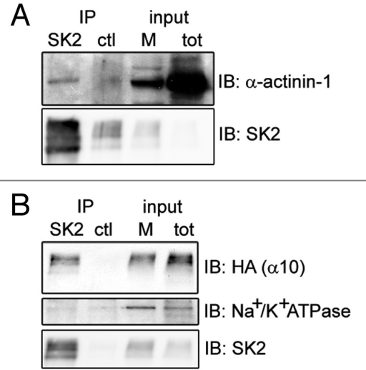 Figure 2. α-actinin-1 and α9/10-nAChRs interact with SK2 channels in Xenopus oocytes. Immunoblots show co-precipitation of exogenous SK2 with co-expressed α-actinin-1 (A) and HA-tagged α9/10-nAChRs (B) in Xenopus laevis oocytes. As negative controls, α-actinin-1 and nAChRs did not co-precipitate with an unrelated antibody of the same IgG subclass (anti-mGluR5; ctl lane in A and B) and SK2 did not co-precipitate with endogenous Na+/K+ ATPase (B, lower panel). Input, 6% of total membrane fraction (M) and lysate (tot) for all panels. n = 4 separate experiments.