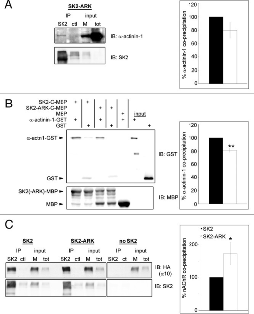 Figure 5. ARK alternative splicing alters interactions of SK2 with α9/10-nAChRs and α-actinin-1. Co-immunoprecipitation of α -actinin-1 (A; see also Fig. 2A) and HA-tagged α9/10-nAChRs (C) with SK2 and SK2-ARK exogenously expressed in Xenopus oocytes. (A and C) Negative controls show no α-actinin-1 or α9/10-nAChR co-precipitation with an unrelated antibody (ctl lanes) or (C) with SK2 antibody from oocytes not transfected with exogeneous SK2. Input in (A and C), 6% of total membrane fraction (M) and lysate (tot). (B) Direct interactions of GST-tagged α -actinin-1 with MBP-tagged SK2 or SK2-ARK C-termini. IP: MBP antibody to pull down SK2, IB: GST antibody. Negative controls show little or no nonspecific interactions with MBP or GST alone (lanes 2,4,5). Input, 0.5% of GST-α-actinin-1 and GST used in pulldown. The lower band in lane 6 is likely a degradation product. (A–C) Graphs show normalized band densities of co-precipitated proteins relative to precipitated SK2 or MBP-tagged SK2 or SK2-ARK peptide in each lane. In each experiment, normalized protein levels co-precipitated with SK2-ARK were calculated as a percentage of co-precipitation with SK2 (100%). Bars represent mean percentage ± SEM * 95% confidence interval was 103.83–241.27% of SK2 values. ** 99.99% confidence interval was 70.00–92.50% of SK2 values. n = 4 separate experiments (A) and 3 separate experiments (B and C).