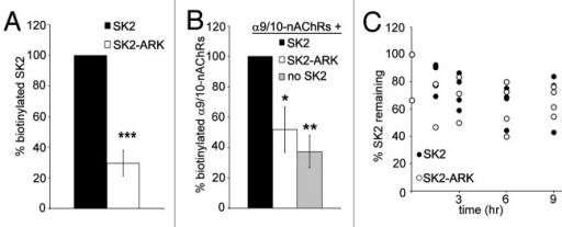 Figure 6. Surface membrane levels of SK2, SK2-ARK, and α9/10-nAChRs. (A) Histogram of SK2 and SK2-ARK surface levels, normalized biotinylated band densities at time 0 (precipitation immediately following biotinylation). (B) Histogram of α9/10-nAChRs surface levels expressed alone, or co-expressed with SK2, or SK2-ARK, all with α-actinin-1, normalized band densities at time 0. (C) Graph of the remaining surface levels of biotinylated SK2 or SK2-ARK at indicated time points relative to levels at time 0, indicating their relative stability in the surface membrane. Graphs indicate band densities of precipitated SK2 or nAChRs normalized to input membrane expression. In each experiment, normalized levels of biotinylated SK2-ARK (A) or nAChRs co-expressed with SK2-ARK or no SK2 (B) were calculated as a percentage of biotinylated SK2 or nAChRs co-expressed with SK2 (100%). In each experiment (C), remaining levels of biotinylated SK2 or SK2-ARK were calculated as a percentage of biotinylated levels at time 0. Bars represent mean ± SEM * 99.5% confidence interval was 9.64–93.78% of co-expression with SK2. ** 99.99% confidence interval was -4.14–78.45% of co-expression with SK2. *** 99.99% confidence interval was -2.47–61.41% of SK2 values. n = 5 separate experiments (A) and 3–4 separate experiments (B and C).