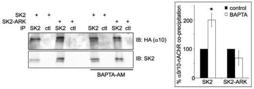Figure 8. Ca2+ differentially modulates interactions of SK2 and SK2-ARK with α9/10-nAChRs. Immunoblots show that incubation with BAPTA-AM (10mM) to chelate intracellular Ca2+ leads to increased co-precipitation of HA-tagged α9/10-nAChRs with SK2, but not with SK2-ARK, from oocytes. Graph shows normalized band densities of co-precipitated α9/10-nAChRs relative to precipitated SK2 in each lane. In each experiment, normalized nAChR levels co-precipitated with SK2-ARK were calculated as a percentage of co-precipitation with SK2 (100%). Bars represent mean ± SEM * 99.99% confidence interval was 109.34–290.84% of control SK2 values. n = 4 separate experiments.