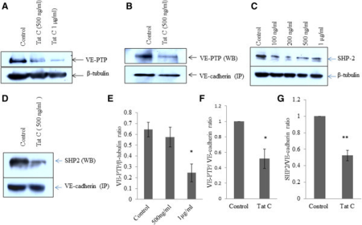 Downregulation and dissociation of VE-PTP and SHP2 from VE-cadherin in HIV-1 Tat C treated BMVECs. (A) Downregulation of VE-PTP expression in HIV-1 Tat C treated hBMVECs. HIV-1 Tat C treatment has been given for 12 hours on hBMVECs and western blot analysis was done by using anti VE-PTP antibody to show decrease in expression level of phosphatase VE-PTP. (B) Immnunoblot images of co-immunoprecipitaion of VE-PTP along with VE-cadherin complex showing the decreased association of VE-PTP with VE-cadherin. Same blots have been re-probed with VE-cadherin antibody to exhibit equal loading of pulled down cadherin complex. Monoclonal VE-cadherin antibody has been used for pull down of VE-cadherin complex by using NP-40 mild lysis buffer in cold conditions. (C) Compared to control hBMVECs (buffer treated), HIV-1 Tat C treated hBMVECs are showing a dose-dependent decrease in SHP2 expression levels. (D) SHP2 dissociation from cadherin complex has been shown by immunoblotting against SHP2 in pulled down cadherin complex by using anti VE-cadherin antibody. (E) The densitometry graph is showing almost 60–70% decrease in VE-PTP expression at higher doses of HIV-1 Tat C treatment. (F) Quantitation of image density by ImageJ software normalized by VE-cadherin image density. Pull-down experiment has been repeated three times and results are shown as mean ± S.E. (*p value ≤0.05). (G) Quantitation of image density of SHP2 showing a significant dissociation (**p value ≤0.005) from cadherin complex, normalized with amount of VE-cadherin pull down. All the results shown here are representative of three independently repeated experiments and shown as mean ± S.E.